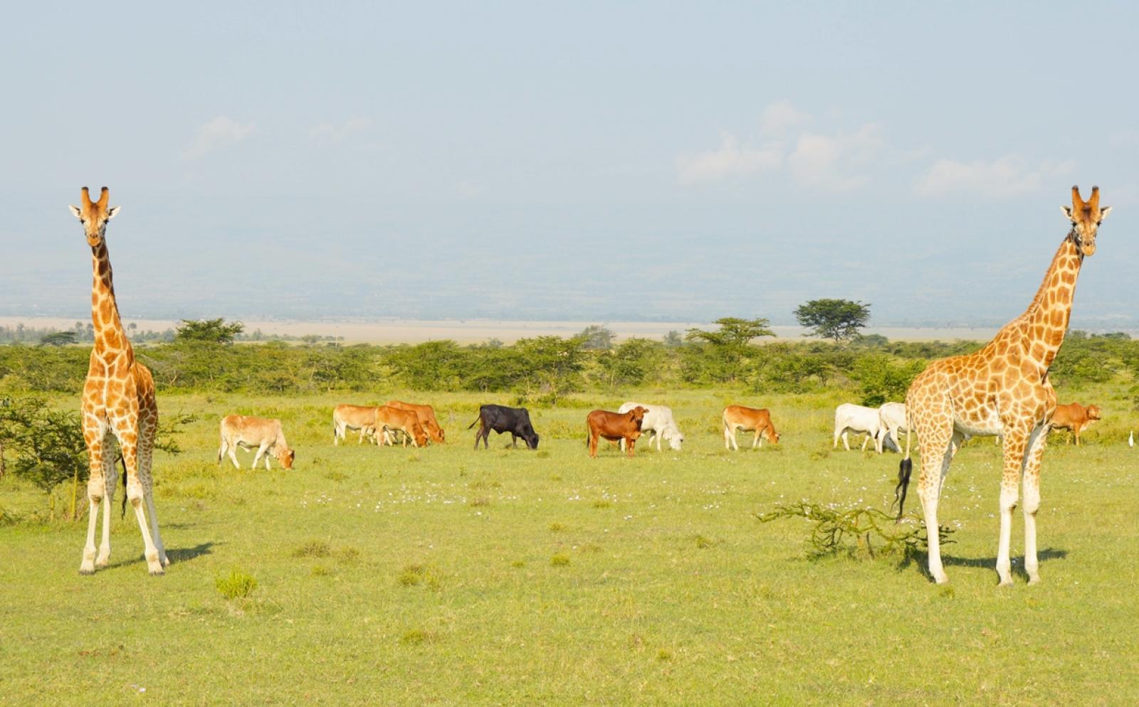 ケニアに生息する絶滅危惧種ロスチャイルドキリン